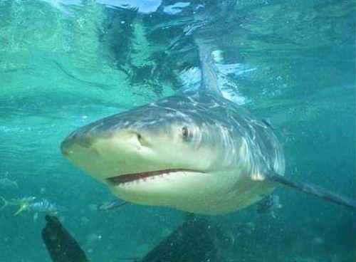 Bull-Shark-II